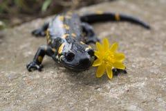 Salamandra del Salamandra Immagine Stock