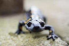 Salamandra del Salamandra Fotografia Stock Libera da Diritti