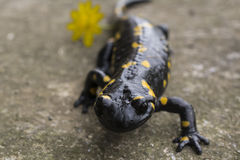 Salamandra del Salamandra Fotografie Stock Libere da Diritti