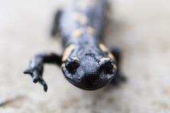 Salamandra del Salamandra Fotografia Stock