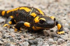 Salamandra di fuoco Immagini Stock Libere da Diritti