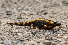 Salamandra di fuoco Fotografia Stock Libera da Diritti