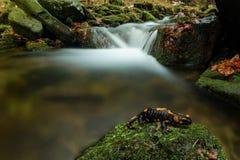 Salamandra di fuoco Immagini Stock