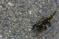 Salamandra di fuoco nera e gialla su una strada immagini stock libere da diritti