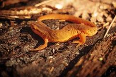 Salamandra do banho de sol Fotografia de Stock