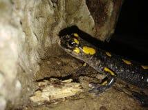 Salamandra fotografía de archivo