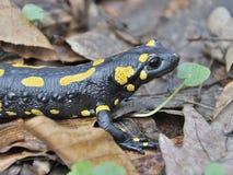Salamandra en el bosque esloveno de las montañas Fotografía de archivo
