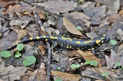 Salamandra en el bosque esloveno de las montañas Imagen de archivo libre de regalías