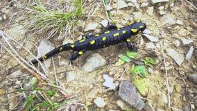 Salamandra en el salvaje almacen de video