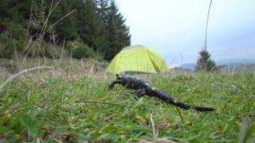 Salamandra en el salvaje almacen de metraje de vídeo