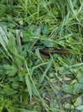 Salamandra en hierba fotografía de archivo libre de regalías