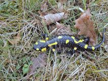 Salamandra en la corriente del bosque de las montañas Fotos de archivo libres de regalías