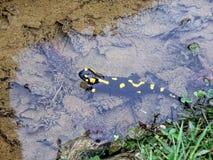 Salamandra en la corriente eslovena de las montañas Imagenes de archivo