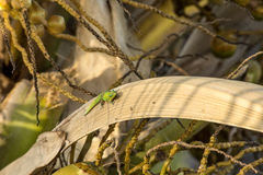 Salamandra en la fronda de la palma Fotos de archivo