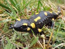 Salamandra en la hierba de las montañas Fotos de archivo