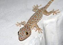 Salamandra en la pared Imagenes de archivo