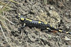 Salamandra en la región eslovena de montañas Imagen de archivo