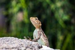 Salamandra en un primer de la roca, Serengeti, Tanzania Fotos de archivo libres de regalías