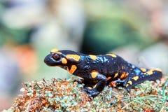 Salamandra för Salamandra för brandsalamander i naturlig livsmiljö arkivfoton