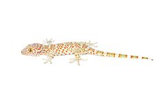 Salamandra (Gekkonidae) foto de archivo