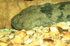 Salamandra gigante china Imagen de archivo