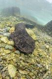 Salamandra gigante japonesa que anda na parte inferior de rio imagens de stock royalty free