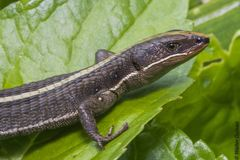 Salamandra in haar habitat Stock Fotografie