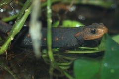 Salamandra Himalayan imágenes de archivo libres de regalías