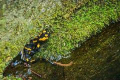 Salamandra modelé de Salamandra de salamandre Photos libres de droits