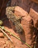 Salamandra mora de la pared al revés Imagen de archivo libre de regalías