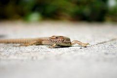 Salamandra ordinaria del jardín que parece in camera ingeniosa Imagen de archivo