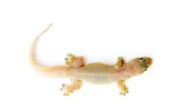 Salamandra. Pequeño lagarto. imagenes de archivo