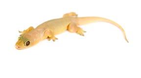 Salamandra. Pequeño lagarto. imágenes de archivo libres de regalías
