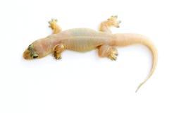 Salamandra. Pequeño lagarto. imagen de archivo