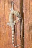 Salamandra que camina sobre un pedazo de madera Foto de archivo libre de regalías