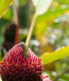 Salamandra que descansa sobre la antorcha roja Ginger Flower, Hawaii Fotografía de archivo libre de regalías