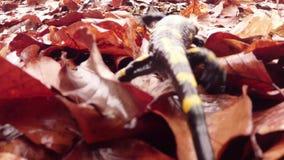 Salamandra que rasteja em uma mãe da folha e em uma madrasta, vista superior video estoque