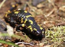 Salamandra Salamandra Stockfotos
