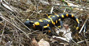 Salamandra salamandra Royalty Free Stock Photo
