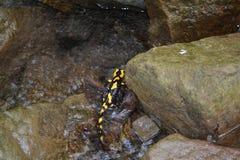 Salamandra (Salamandra) Imagens de Stock