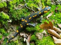 Salamandra Salamandra stockbilder