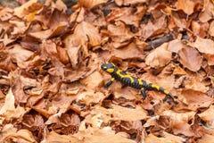 Salamandra salamandra beschkovi Royalty Free Stock Photography