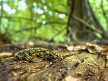 Salamandra Salamandra in Natural Old Forest Habitat Royalty Free Stock Photo
