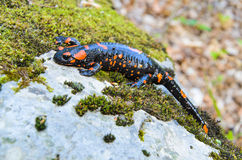 Salamandra salamandra in nature Stock Photos