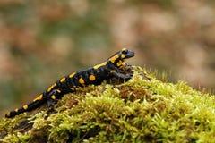 Salamandra Salamandra On Moss Stock Images