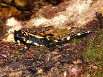 Salamandra salamandra royalty free stock images