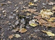 Salamandra sulla terra Immagini Stock