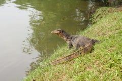 Salamandra Tailandia fotos de archivo libres de regalías