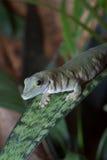 Salamandra verde en la hoja Fotografía de archivo libre de regalías