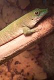 Salamandra verde en la rama de árbol Imagen de archivo libre de regalías